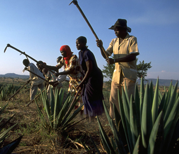 Farmers preparing land for intercropping in Tanzania. [IFAD/Robert Grossman]