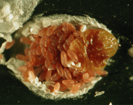 Figure 1. Cycad Scale female adult with eggs.