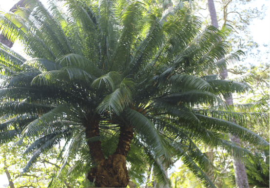 Figure 2. Cycad plant free of Cycad Scale infestation