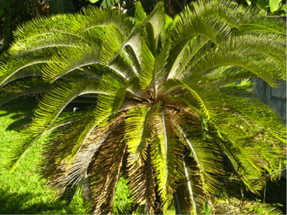 Figure 3. Cycad plant infested with Cycad Scale.