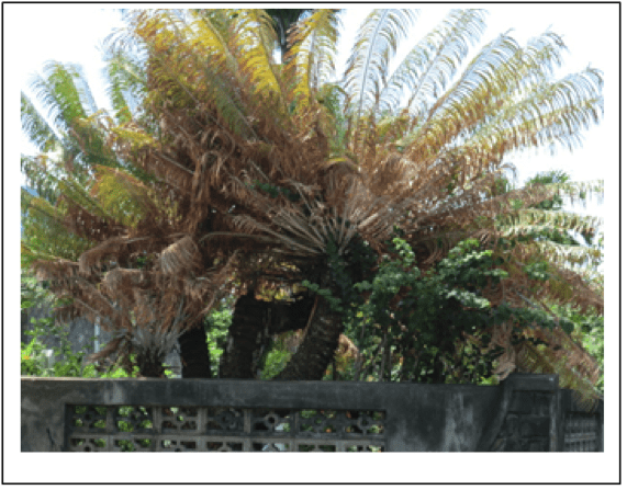 Figure 4. Cycad plant brown and sclerotic after heavy infestation from A. yasumatsui.