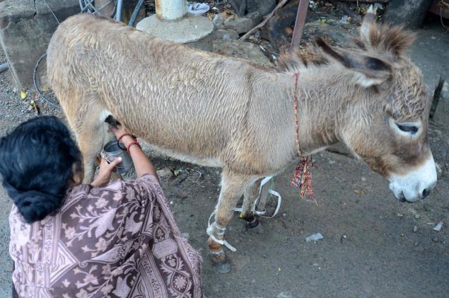A Woman Milks A Donkey. (Internet Photo)