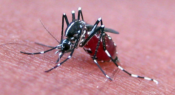 Zika virus is spread through the bite of the aedes aegypti mosquito. (Internet photo)