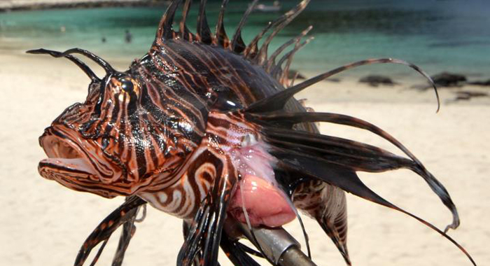 Our First Lionfish 2
