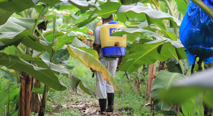Farmer Hugh Stewart attends to his banana field at Collings. (IWN photo)