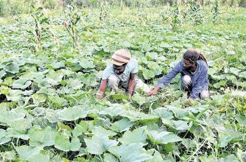 Jamaica Farmers