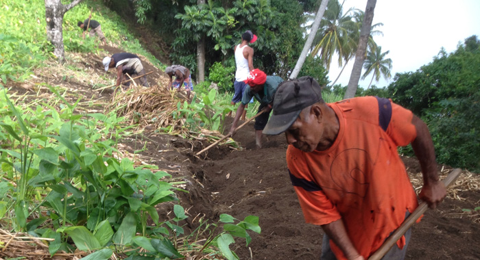 Arrowroot Harvesting