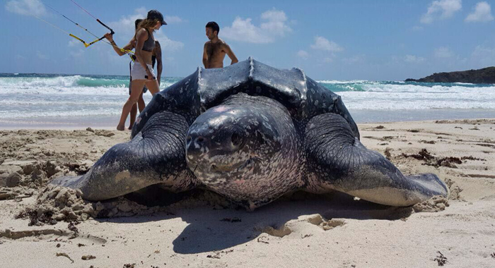 The Fund will encourage the conversation of sea turtles, like this large leatherback photographed in Mustique.