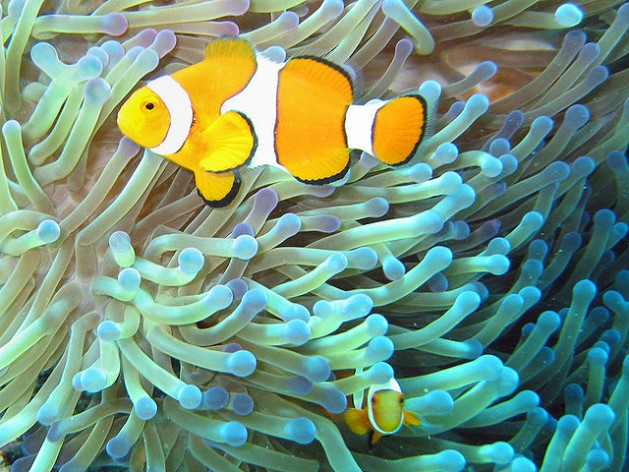 640Px Common Clownfish