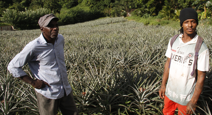 Watson, left, and his full-time employee, Peter Baptiste at the farm. The businessman had to layoff the other worker because of the impact of theft on the business. (IWN photo)
