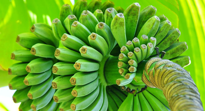 Green Bananas On Plant Bunch