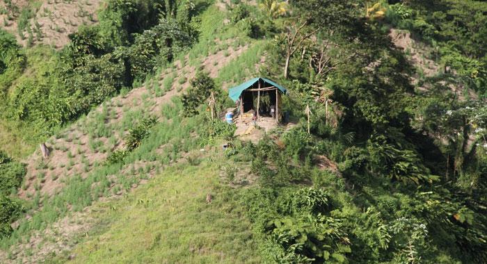 Ganja Cultivation In Svg